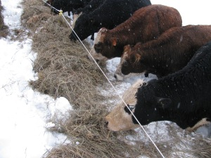2013_02_28 cattle feeding on snow 011