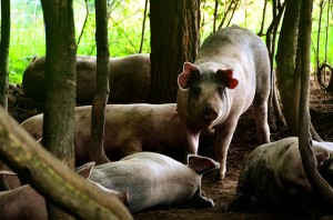 Forest-Pigs